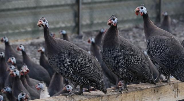 """""""Kenesavar"""" keklik ve tavuklar Yozgatta üretiliyor"""