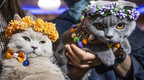 """Ankarada """"Kedi Güzellik Festivali"""" düzenlendi"""