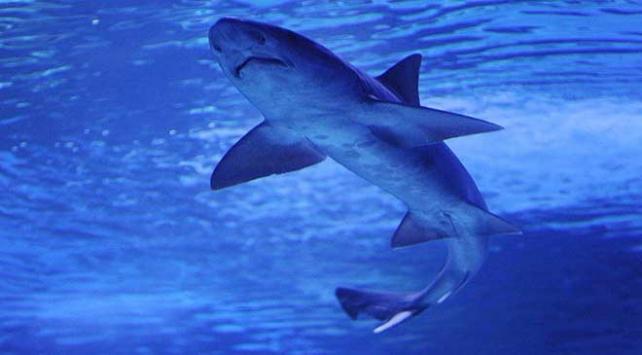 Avustralyada tekneye atlayan köpek balığı korkuttu