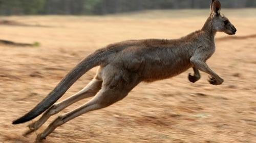 2 metrelik dev kanguru kendisini besleyen aileyi dövdü