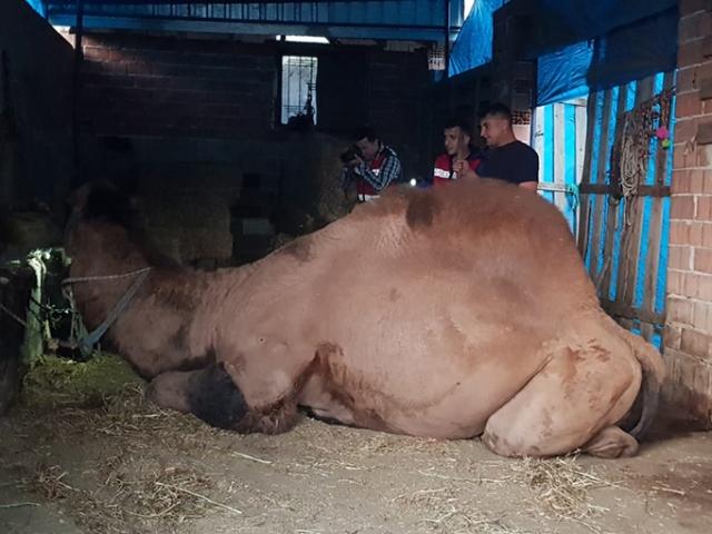 Öfkeli deve sahibini öldürdü