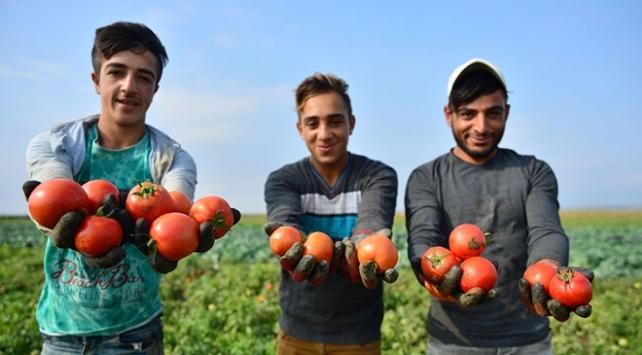 Çanakkale domatesinin en lezzetli dönemi