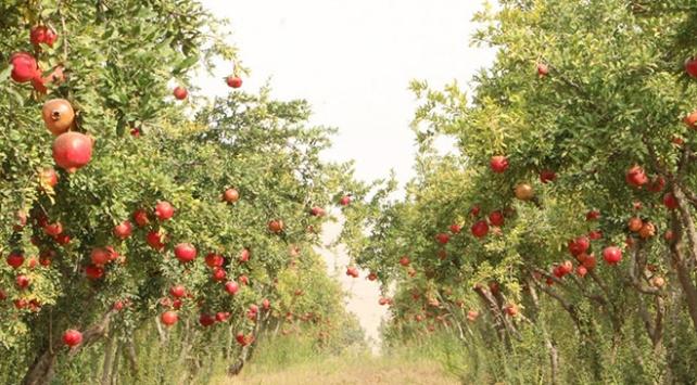 Şanlıurfada ihtiyaç sahiplerine belediye bahçesinden meyve