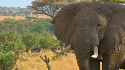 Tanzanyada hayvanları gözlemlemek için teknoloji kullanılıyor