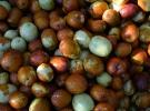 Amasya'da hünnap misket elmasına rakip oldu