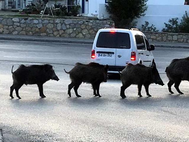 Bodrumda domuz sürüsü kent merkezine indi