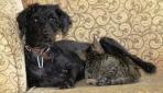 Köpek yavru kediyi emzirip annelik yapıyor