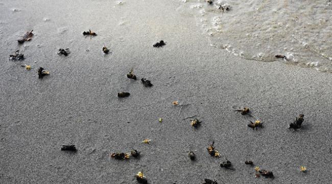 Muğlada sahile ölü arılar vurdu