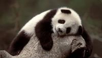 Bebek Panda Heyecanı