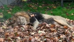 Aslanlar sonbaharın tadını yapraklarda yuvarlanarak çıkarıyor