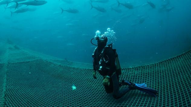 Balık çiftliklerinin dalgıçları ömürlerini su altında geçiriyor