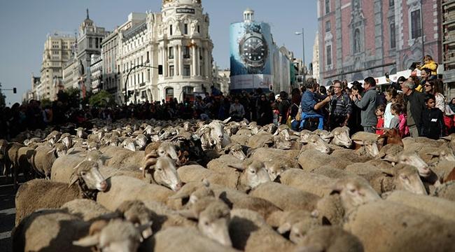Madrid sokaklarında bin 500 koyunla Orta çağ geleneği canlandırıldı