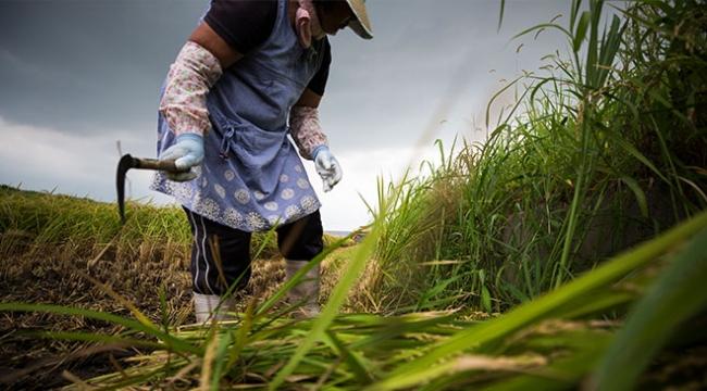 Japonyada pirinç üreticileri zorlu bir gelecekle karşı karşıya