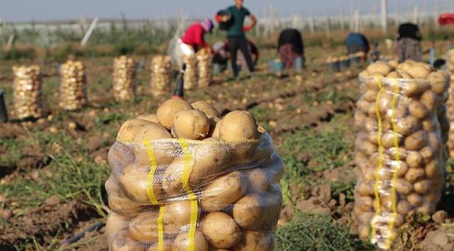 Üretici, kışlık patateste verim artışından memnun