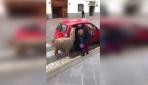 Peruda bir lama taksiye binerken görüntülendi
