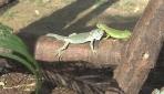 Bursada dünyaya gelen renkli iguana yavruları