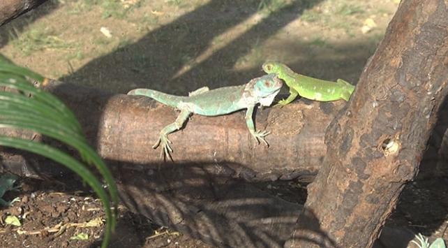 Bursa'da dünyaya gelen renkli iguana yavruları