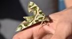 Kamuflaj desenli mekik kelebeği Marmariste görüldü