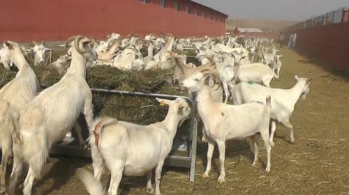 Hibe ile keçi sütü üretim çiftliği kurdu
