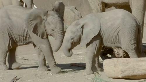 Yavru fillerin oyun keyfi