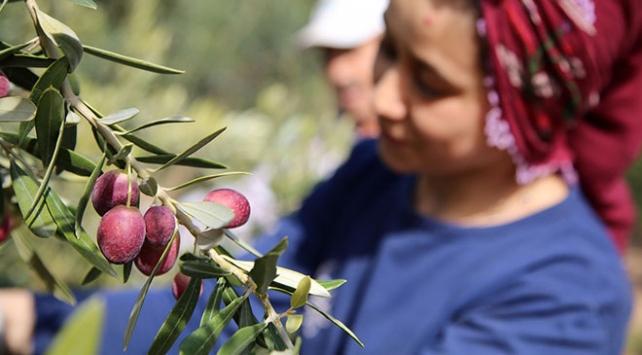 Akhisar'da Domat zeytini hasadı başladı