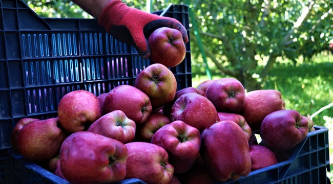 Isparta elması üreticinin yüzünü güldürdü