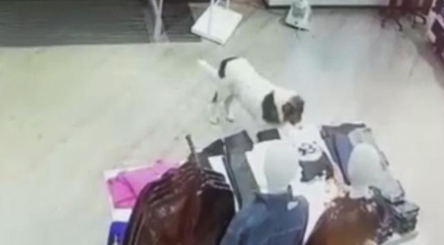 Sevimli köpek AVM'den tişört çalarken kameralara yakalandı