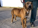 Ölmek üzereyken bulunan sokak köpeği Tiger hayata tutundu