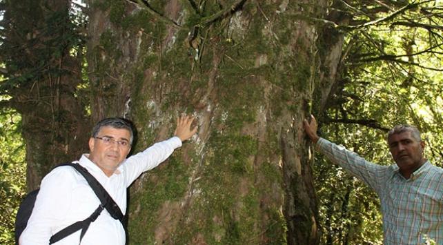 Kahramanmaraşta 2 bin 800 yıllık porsuk ağacı korumaya alınıyor