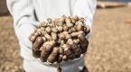 Suriyeliler ekmeğini yer fıstığı tarlalarında çalışarak çıkarıyor
