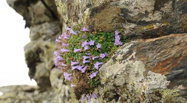 İzmir'de yeni bir bitki türü keşfedildi