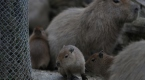 Bursa Hayvanat Bahçesinde 4 kapibara dünyaya geldi