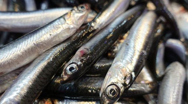 Karadenizdeki bolluk balıkçıları memnun etti
