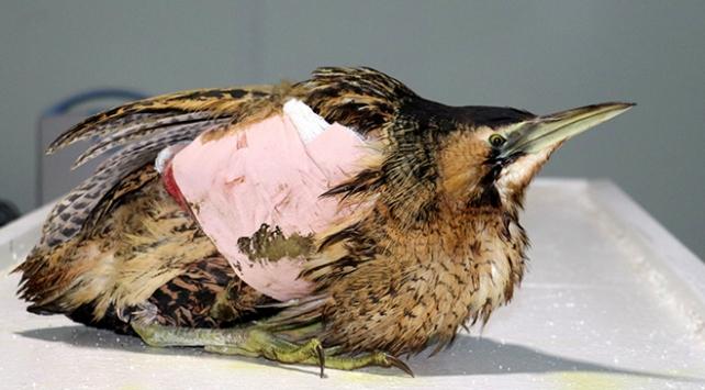 Kanadı kırılan kuşa platin takıldı