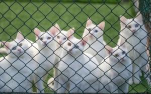 Van kedisi üreme oranında artış