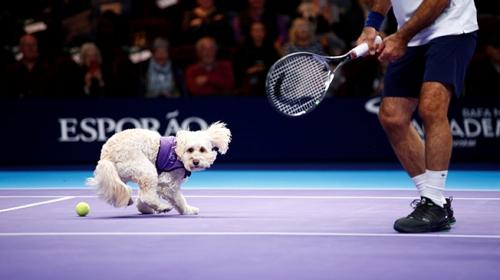 Rehber köpekler tenis kortunda top toplayıcı oldu