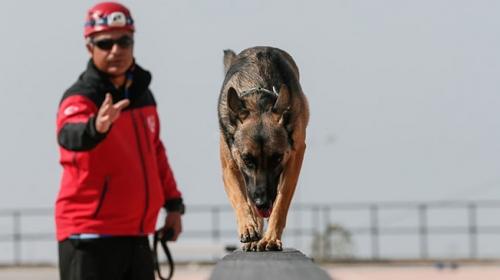 Hayat kurtaran köpekler özenle yetiştiriliyor