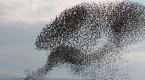 Balıkesirde sığırcık kuşları