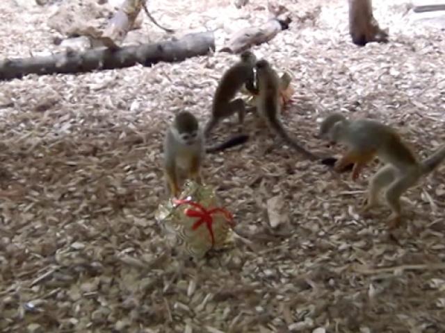 Liseliler sevimli maymunlara hediye kutu hazırladı