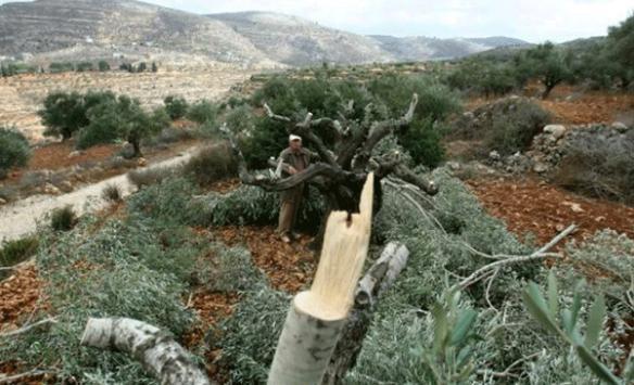 Yahudi yerleşimciler Filistinlilere ait 30 zeytin ağacını kesti