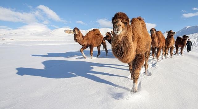 Develerini Vanın karlı tepelerinde yetiştiriyorlar